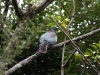 Hokitika: trekking along the river - New Zealand pigeon (Hemiphaga novaeseelandiae) - 51 cm