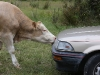 Hokitika take-out: a cow attack