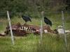 Futaleufu: kondoři mají hody