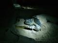 Ras al Hadd: a tady už je želva, která se propracovává zpět do moře