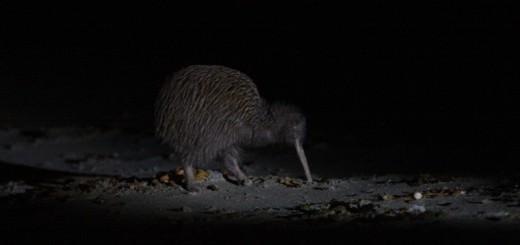 czStewart-Island-Ocean-beach-Stewart-Island-Kiwi-Apteryx-australis-lawryi-enStewart-Island-Ocean-beach-Stewart-Island-Kiwi-Apteryx-australis-lawryi